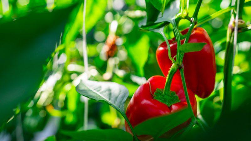 فلفل دلمه ای قرمز در گلخانه هیدروپونیک آتاویتا