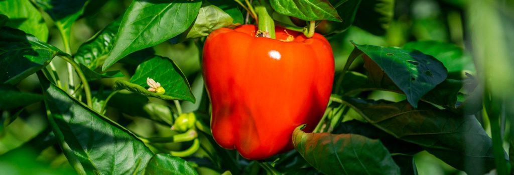 کشت هیدروپونیک فلفل و گوجهفرنگی
