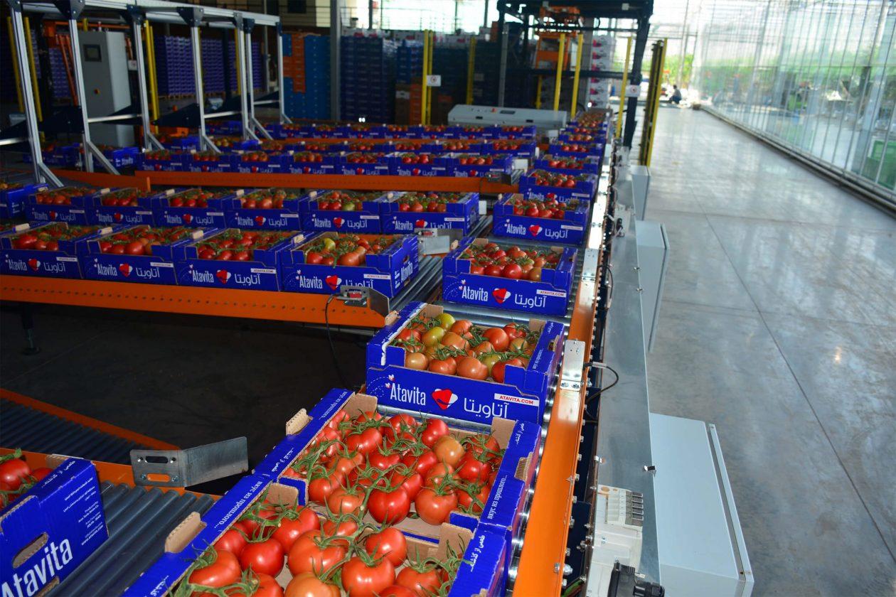 خرید عمده گوجه فرنگی