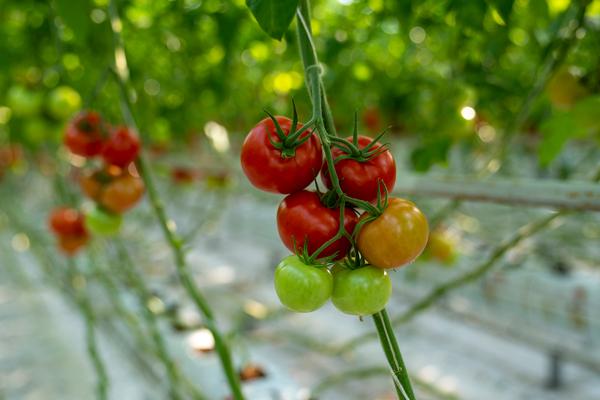 تغذیه گیاه در گلخانه هیدروپونیک